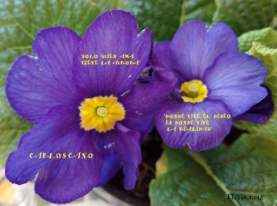 primulas lilas
